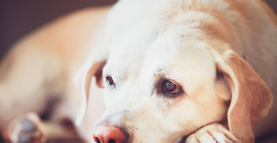 ¿Cómo saber si su mascota tiene dolor?
